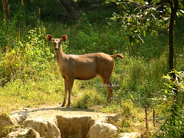 Rules of Jungle sambhar deer in kanha wildlife @lemonicks.com