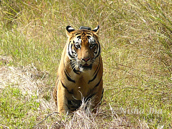 tiger in kanha wildlife @lemonicks.com