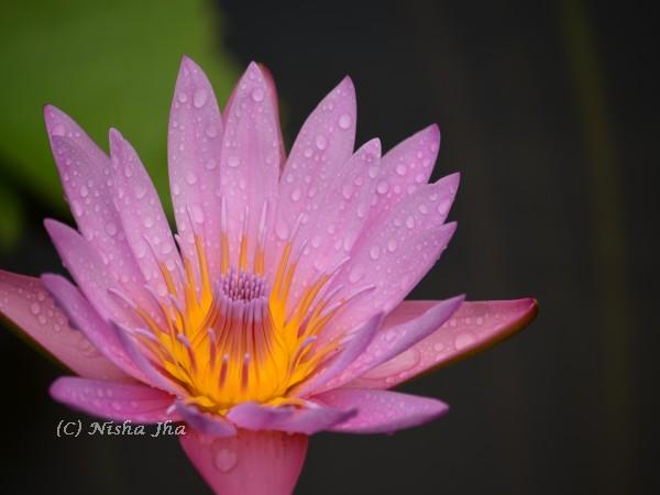 Mauritius flower @lemonicks.com