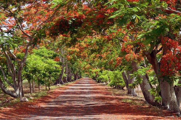 flamboyant tree @lemonicks.com