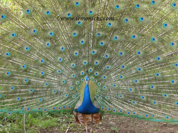 dancing peacock in Morachi chincholi @lemonicks.com