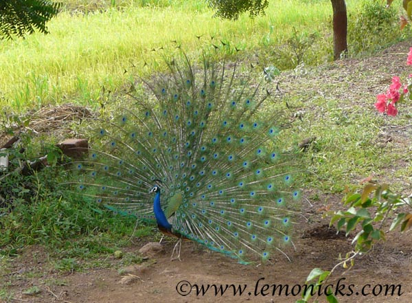 peacock in Morachi chincholi @lemonicks.com