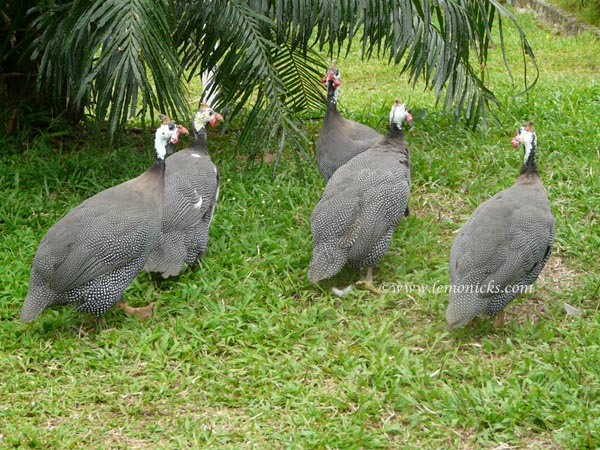 guinea fowl @lemonicks.com