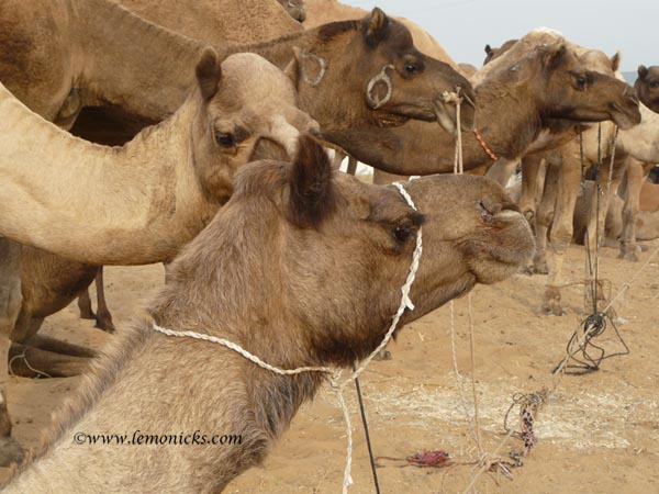 Pushkar camel fair @lemonicks.com