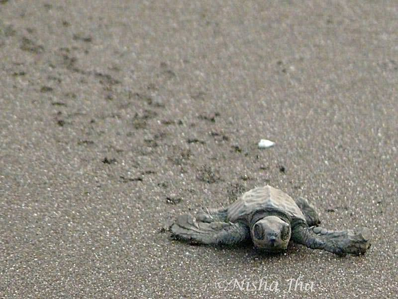 olive ridley turtles velas maharashtra