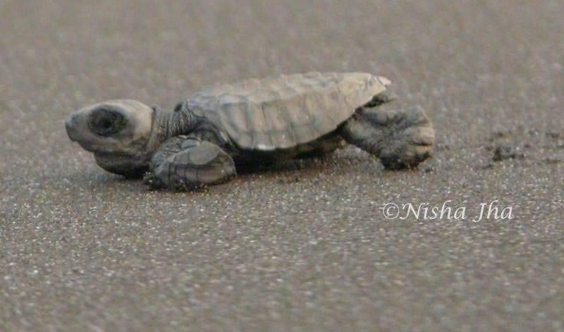 olive ridley turtles velaas maharashtra