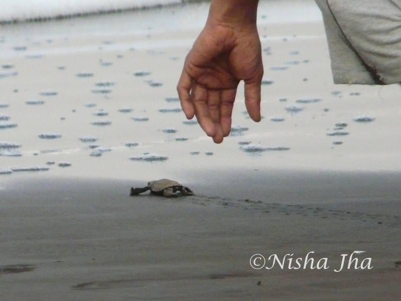 olive ridley sea turtles velas maharashtra