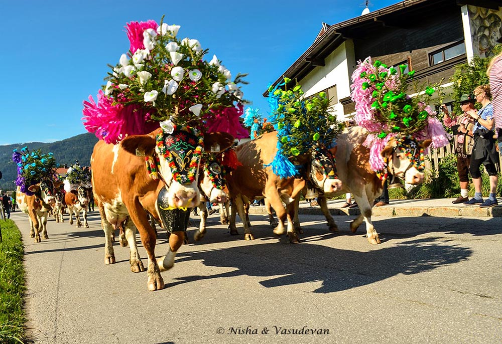 cows come home Almabtrieb alpine cow festival @lemonicks.com
